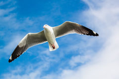 Seagull under the blue sky Stock Photography