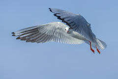 Seagull under spread wings. Seagull flying in blue sky and cautiously watching under spread wings Royalty Free Stock Image