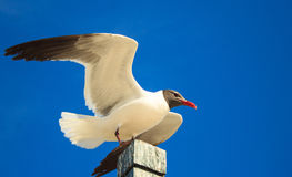 Seagull underneath the blue skies. Seagull just landed on the beach pool looking for some food royalty free stock image