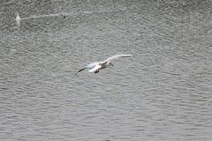 Seagull unosi się nad prowadzenie barwiącą jesieni wodą obraz stock