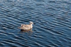 Seagull Unosi się na wodzie Obraz Stock