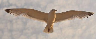 Seagull unosi się nad morzem Obrazy Stock