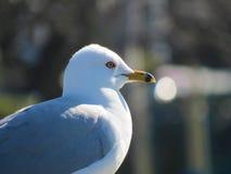 Seagull up zamknięty piękny patrzeć w odległość Zdjęcie Royalty Free