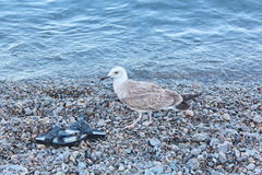 Seagull. Vacation. Summer tourism. Concept for rest. Close view Stock Photography