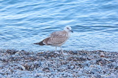 Seagull. Vacation. Summer tourism. Concept for rest. Close view Royalty Free Stock Images
