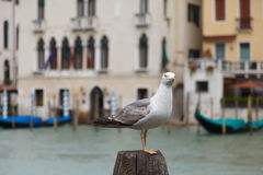 Seagull in Venice Royalty Free Stock Photos