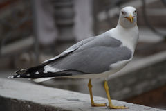 Seagull in Venice Royalty Free Stock Photo