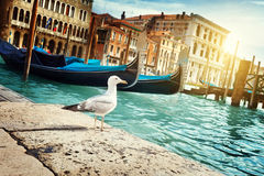 Seagull in Venice, Italy Royalty Free Stock Image