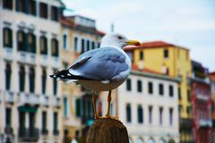 Seagull and Venice, Italy, Europe. An isolated seagull on a wooden pole and historical buildings on the background, in Venice, Italy, Europe Royalty Free Stock Images