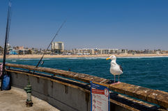 Seagull on the Venice Pier Los Angeles. Seagull on the Venice beach view from pier in California USA Royalty Free Stock Image
