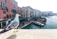 Seagull in Venice Stock Image