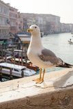 Seagull in Venice Stock Photography