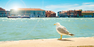 Seagull in Venice Stock Image