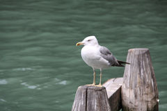 Seagull. In Venice, sitting on the pile Stock Image