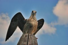 Seagull Venicean Στοκ Εικόνες