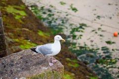 Seagull vid havet Royaltyfri Fotografi