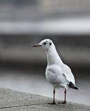 Seagull vid havet/hav Arkivbilder