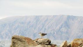 Seagull vid havet | Kroat - Povile arkivbilder