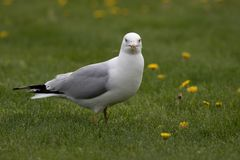 Seagull vid maskrosorna royaltyfria foton