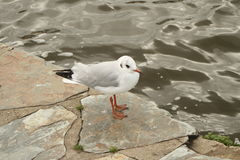 Seagull vid vattnet Arkivbild