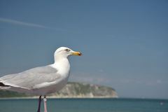 Seagull and view of Swanage Stock Image