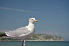 Seagull and view of Swanage Stock Images