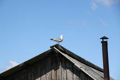 Seagull in the village Royalty Free Stock Photo