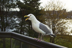 Seagull Visits for Morning Time Wakeup Royalty Free Stock Image