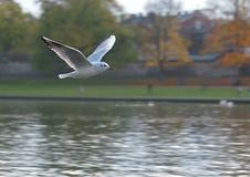 Seagull on the Vistula River. Stock Image