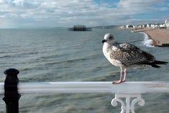 Seagull w Brighton Molu Fotografia Stock