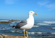 Seagull w Essaouira Maroko Obrazy Royalty Free