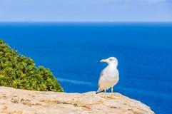 Seagull w falezie w Formentera, Hiszpania Zdjęcie Royalty Free