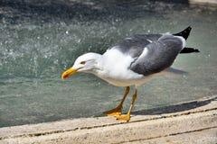 Seagull w fontannie w Rzym zdjęcie royalty free