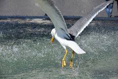Seagull w fontannie w Rzym obrazy stock