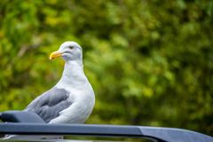 Seagull w Heceta głowy latarni morskiej stanu parku Florencja, Oregon Fotografia Stock