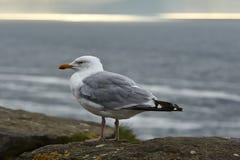 Seagull w Irlandia Zdjęcia Stock