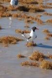 Seagull w kipieli Obraz Royalty Free