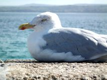 Seagull w lecie Obraz Royalty Free