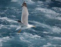 Seagull w locie. Zdjęcie Royalty Free