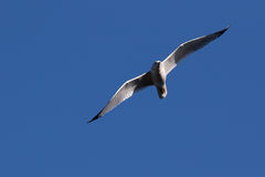 Seagull w locie zdjęcie royalty free
