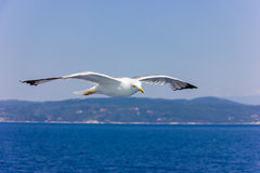 Seagull w locie Zdjęcia Stock