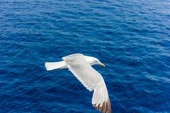 Seagull w locie Zdjęcia Royalty Free