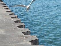 Seagull w locie Fotografia Royalty Free