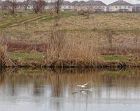 Seagull w locie, Corbeanca, Ilfov okręg administracyjny, Rumunia Obrazy Stock