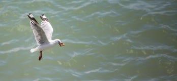 Seagull w locie z jedzeniem Zdjęcie Royalty Free