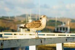 Seagull w Mangonui zdjęcia stock