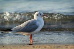 Seagull w morzu Obrazy Stock