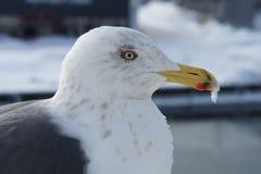 Seagull w niebie Zdjęcie Royalty Free