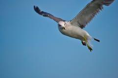 Seagull w niebie Zdjęcia Stock
