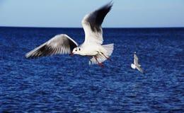 Seagull w niebie Fotografia Stock
